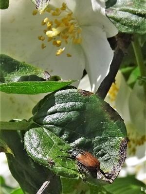 2020-06-05 LüchowSss Garten Bauernjasmin (Philadelphus coronarius) + Garten-Laubkäfer (Phyllopertha horticola)