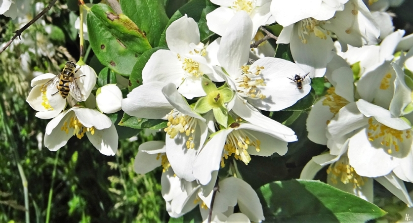 2020-06-05 LüchowSss Garten Bauernjasmin (Philadelphus coronarius)+ Totenkopf-Schwebfliege (Myathropa florea) + Kirschfruchtfliege (Rhagoletis cerasi)