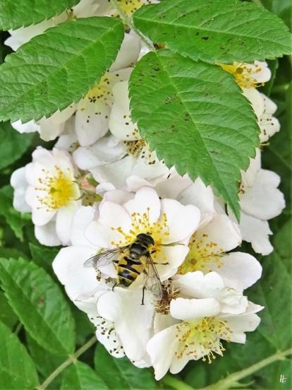 2020-06-05 LüchowSss Garten Büschelrose (Rosa multiflora) + Totenkopf-Schwebfliege (Myathropa florea)