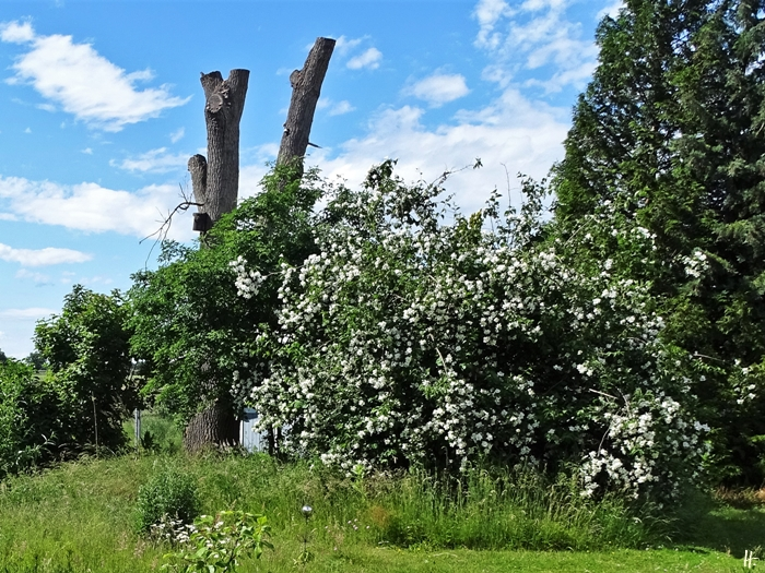 2020-06-06 LüchowSss Garten Bauernjasmin (Philadelphus coronarius) u. Eichenstumpf