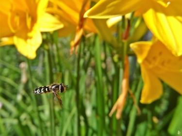 2020-06-07 LüchowSss Garten Gelbe Taglilie + Mondfleck-Feldschwebfliege (Eupeodes luniger) (1)
