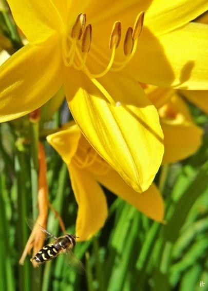 2020-06-07 LüchowSss Garten Gelbe Taglilie + Mondfleck-Feldschwebfliege (Eupeodes luniger) (3)