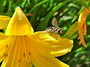 2020-06-07 LüchowSss Garten Gelbe Taglilie + Mondfleck-Feldschwebfliege (Eupeodes luniger) (4)