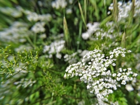 2020-06-07 LüchowSss Garten Hundspetersilie (Aethusa cynapium)