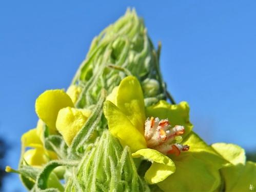 2020-06-07 LüchowSss Garten Kandelaber-Königskerze (Verbascum olympicum) (2)