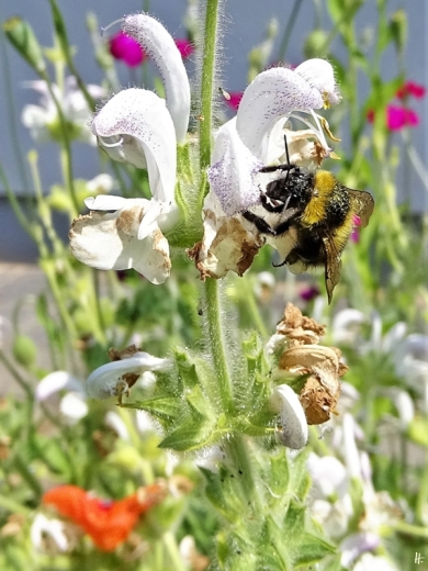 2020-06-09 LüchowSss Garten Wolliger bzw. Silberblatt-Salbei (Salvia argentea) + Gartenhummel (Bombus hortorum) od. vllt. doch Feldhummel (Bombus ruderatus) (1)