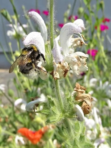 2020-06-09 LüchowSss Garten Wolliger bzw. Silberblatt-Salbei (Salvia argentea) + Gartenhummel (Bombus hortorum) od. vllt. doch Feldhummel (Bombus ruderatus) (2)
