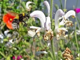 2020-06-09 LüchowSss Garten Wolliger bzw. Silberblatt-Salbei (Salvia argentea) + Gartenhummel (Bombus hortorum) od. vllt. doch Feldhummel (Bombus ruderatus) (3)