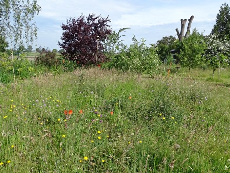 2020-06-10 LüchowSss Garten westliche Wiesen-Insel, u.a. mit Acker-Witwenblumen