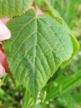 2020-06-12 LüchowSss Garten Hybrid-Linde (Tilia x mit Fragezeichen) (2)