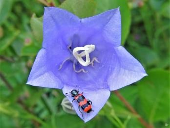 2020-06-12 LüchowSss Garten Pfirsichblättrige Glockenblume (Campanula persicifolia) + Gemeiner Bienenkäfer (Trichodes apiarius)