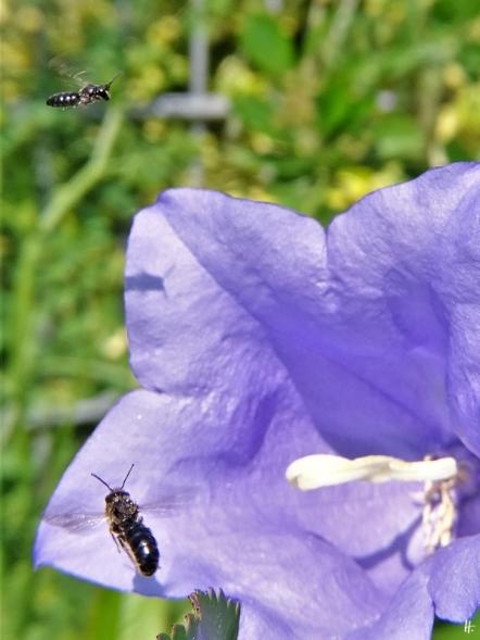 2020-06-12 LüchowSss Garten Pfirsichblättrige Glockenblume + Gr. Glockenblumen-Scherenbiene (Chelostoma rapunculi) + kleine, unbest. Wildbiene