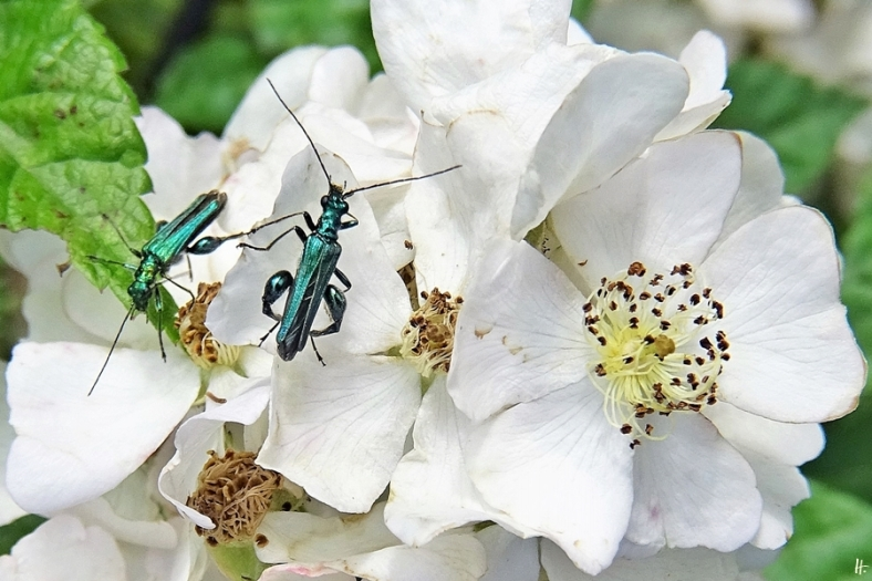 2020-06-14 LüchowSss Garten 2 Büschelrose (Rosa multiflora) + Blaugrüne Schenkelkäfer (Oedemera nobilis)