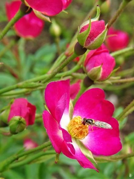 2020-06-14 LüchowSss Garten Bodendeckerrose 'Lupo' (Kordes) + Schwebfliege
