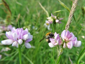 2020-06-14 LüchowSss Garten Bunte Kronwicke (Securigera varia) + Ackerhummel (Bombus pascuorum) (1)