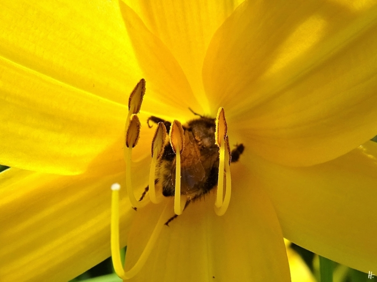 2020-06-14 LüchowSss Garten Gelbe Taglilie (Hemerocallis lilioasphodelus) + grosse Hummel vermutl. Königin