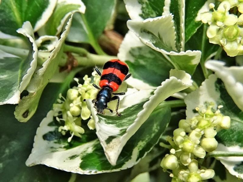 2020-06-14 LüchowSss Garten Gemeiner Bienenkäfer (Trichodes apiarius) + Spindelstrauch
