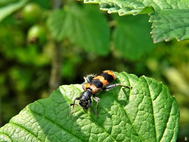 2020-06-14 LüchowSss Garten Gewöhnlicher Bienenkäfer (Trichodes apiarius) auf Johannisbeerblatt