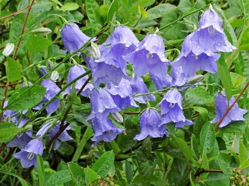 2020-06-14 LüchowSss Garten Pfirsichblättrige Glockenblume (Campanula persicifolia) nach Regen (1)