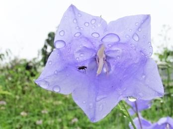 2020-06-14 LüchowSss Garten Pfirsichblättrige Glockenblume (Campanula persicifolia) Regenschutz für kl. Fliege