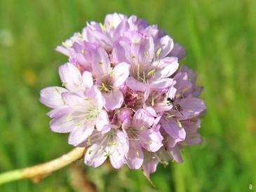 2020-06-14 LüchowSss Garten Sand-Grasnelke (Armeria maritima subsp. elongata) + kl. wespenartiges Insekt