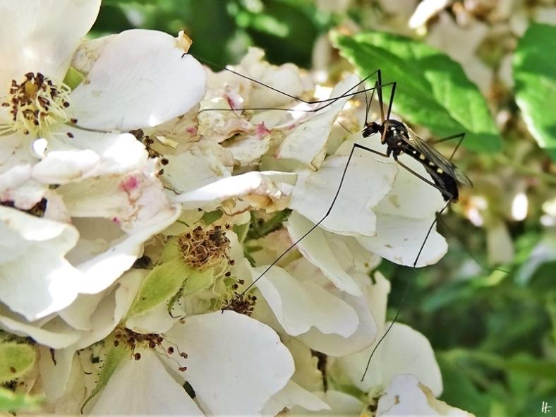 2020-06-15 LüchowSss Garten Gelbbindige Schnake (Nephrotoma crocata) auf Büschelrose (Rosa multiflora) (2)