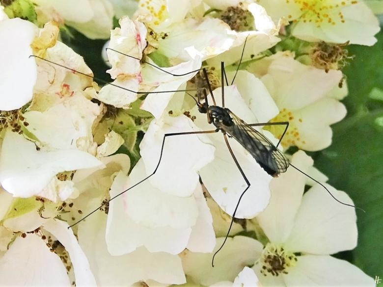 2020-06-15 LüchowSss Garten Gelbbindige Schnake (Nephrotoma crocata) auf Büschelrose (Rosa multiflora) (3)
