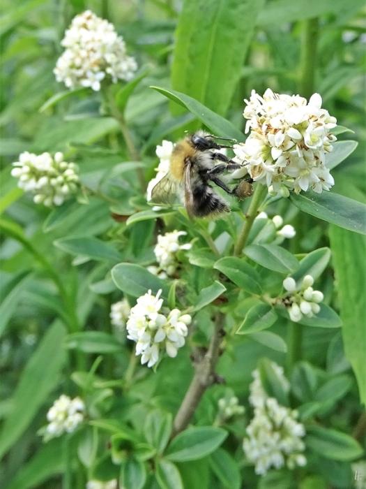2020-06-15 LüchowSss Garten Gewöhnlicher Liguster (Ligustrum vulgare) + Ackerhummel (Bombus pascuorum)