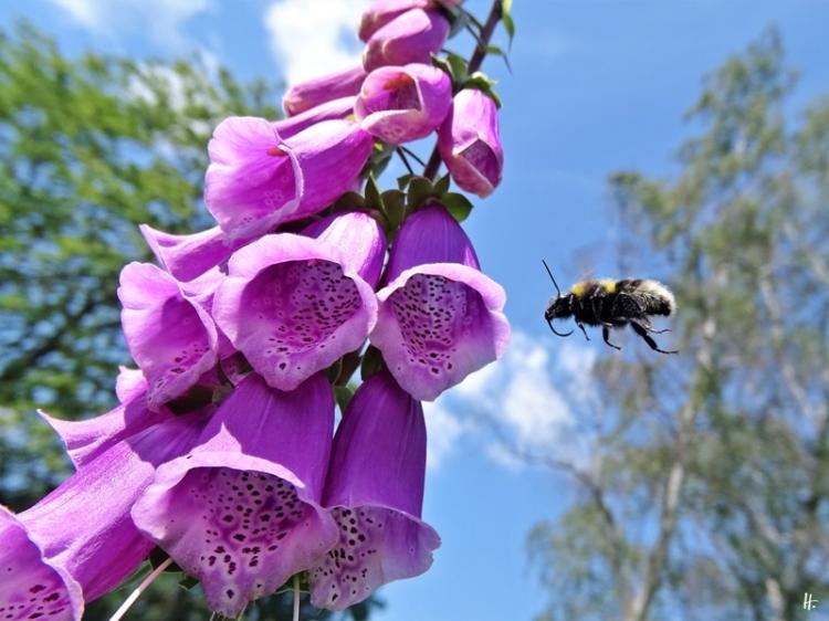 2020-06-15 LüchowSss Garten Roter Fingerhut (Digitalis purpurea) + vermutl. Gartenhummel-Königin (Bombus hortorum) (3)