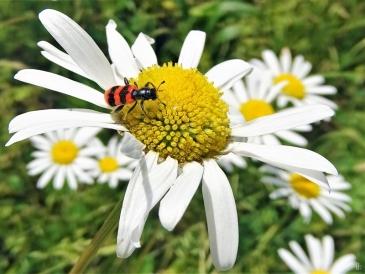 Gemeiner Bienenkäfer (Trichodes apiarius)