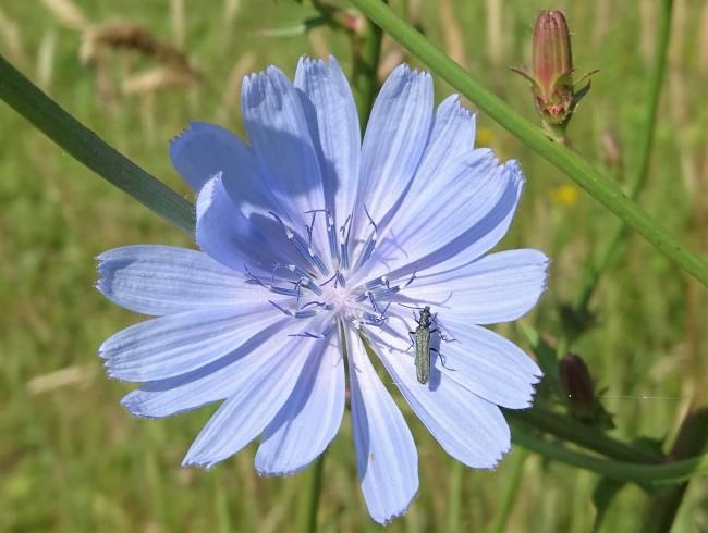 2020-06-16 LüchowSss Garten 1. Wegwarten-Blüte (Cichorium intybus) + weibl. Graugrüner Schenkelkäfer (Oedemera virescens)