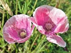 2020-06-16 LüchowSss Garten Garten-Klatschmohn 'Seidenmohn' , rosa (Papaver rhoeas var.) (2)