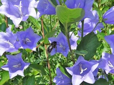 2020-06-17 LüchowSss Garten Pfirsichblättrige Glockenblume (Campanula persicifolia) + männliche Blaue Holzbiene (Xylocopa violacea) (1)