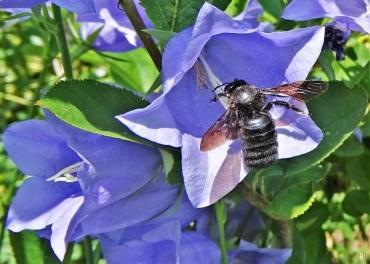 2020-06-17 LüchowSss Garten Pfirsichblättrige Glockenblume (Campanula persicifolia) + männliche Blaue Holzbiene (Xylocopa violacea) (3)