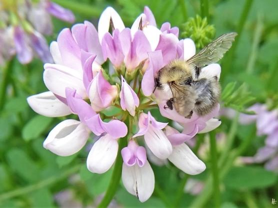 2020-06-18 LüchowSss Garten Bunte Kronwicke (Securigera varia) + Gemeine Pelzbiene (Anthophora plumipes) (1)
