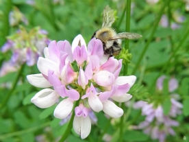 2020-06-18 LüchowSss Garten Bunte Kronwicke (Securigera varia) + Gemeine Pelzbiene (Anthophora plumipes) (2)