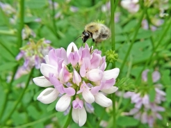 2020-06-18 LüchowSss Garten Bunte Kronwicke (Securigera varia) + Gemeine Pelzbiene (Anthophora plumipes) (3)