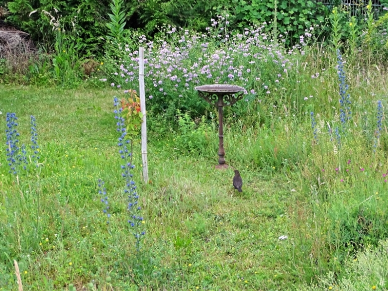 2020-06-18 LüchowSss Garten morgens 9h Amsel (Turdus merula) weibl. (1)
