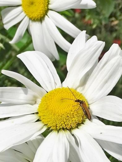 Kleiner Schmalbock (Stenurella melanura)