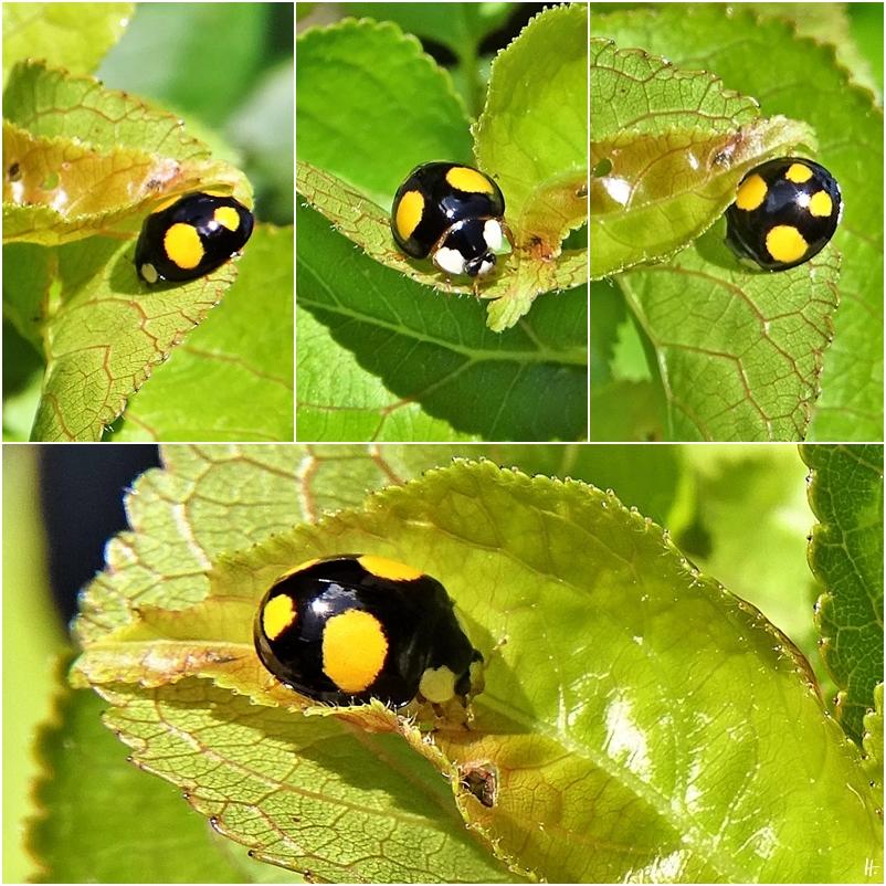2020-06-21 LüchowSss Garten Asiatischer Marienkäfer (Harmonia axyridis) schwarz-gelb (1x4)