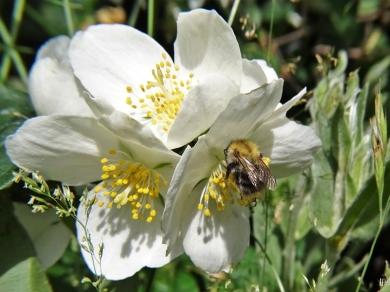 2020-06-21 LüchowSss Garten Bauernjasmin bzw. Pfeifenstrauch (Philadelphus coronarius) + Ackerhummel (Bombus pascuorum)
