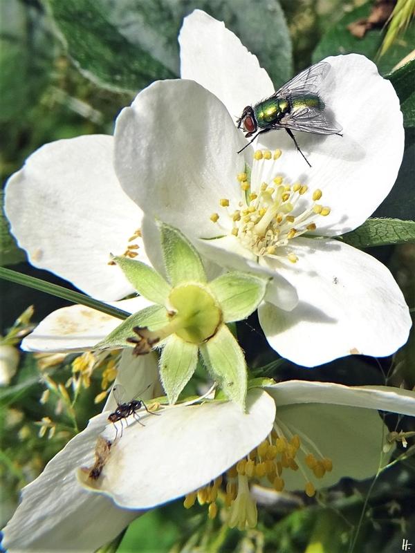 2020-06-21 LüchowSss Garten Bauernjasmin bzw. Pfeifenstrauch (Philadelphus coronarius) + Goldfliege (Lucilia sericata) + Glänzende Schwingfliege (Sepsis fulgens)