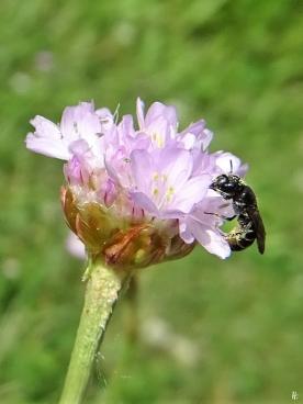 2020-06-21 LüchowSss Garten Strand-Grasnelken (Armeria maritima) + Wildbiene (2)