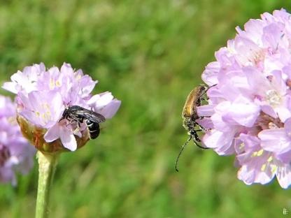 2020-06-21 LüchowSss Garten Strand-Grasnelken + Wildbiene + Kleiner Schmalbock (2)