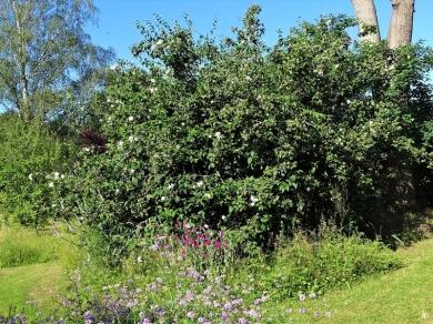 2020-06-23 LüchowSss Garten Bauernjasmin bzw. Pfeifenstrauch (Philadelphus coronarius)