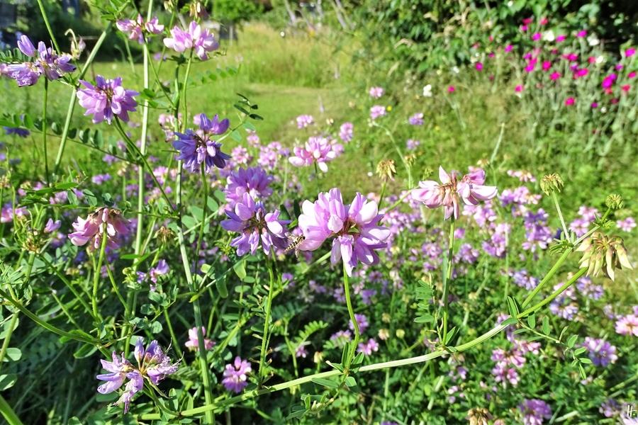 2020-06-23 LüchowSss Garten Bunte Kronwicke (Securigera varia) + Langbauch-Schwebfliege (Sphaerophoria scripta)