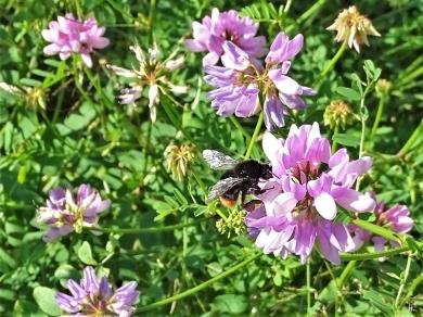 2020-06-23 LüchowSss Garten Bunte Kronwicke (Securigera varia) + Steinhummel (Bombus lapidarius)