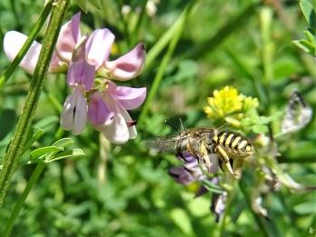 2020-06-23 LüchowSss Garten Bunte Kronwicke (Securigera varia) + weibl. Garten-Wollbiene (Anthidium manicatum) (4)