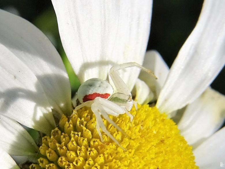 2020-06-23 LüchowSss Garten Magerwiesen-Margeriten (Leucanthemum vulgare) + Veränderliche Krabbenspinne (Misumena vatia)