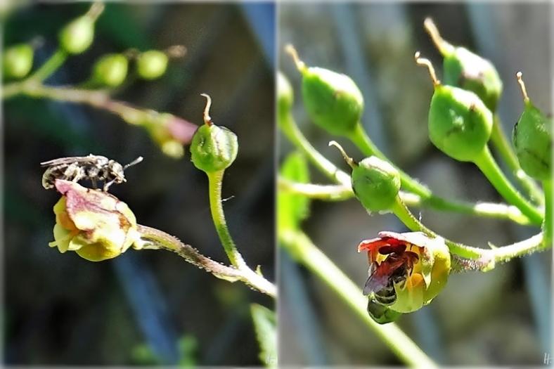 2020-06-24 LüchowSss Garten Knotige Braunwurz + sehr kleine Wildbiene (1x2)